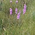 Watsonia marginata, Tulbagh, Andrew Harvie