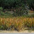 Watsonia meriana var. bulbillifera, Mary Sue Ittner [Shift+click to enlarge, Click to go to wiki entry]