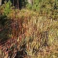 Watsonia meriana var. bulbillifera, Bob Rutemoeller