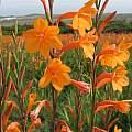 Watsonia pillansii, East London, Cameron McMaster