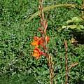 Watsonia pillansii, Kirstenbosch, Mary Sue Ittner