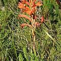 Watsonia spectabilis, Stellenbosch, Andrew Harvie