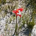 Watsonia spectabilis, Napier, Cameron McMaster
