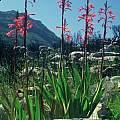 Watsonia vanderspuyiae, Rod Saunders