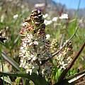 Wurmbea inusta, hof59, iNaturalist, CC BY-NC