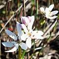 Wurmbea punctata (maybe), Bruce Bayer
