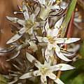 Wurmbea spicata, Roggeveld Mountains, Andrew Harvie