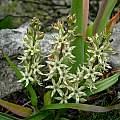 Wurmbea spicata, Caledon, Cameron McMaster