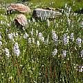 Wurmbea stricta, Nieuwoudtville, Cameron McMaster