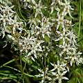 Wurmbea variabilis, Villiersdorp, Mary Sue Ittner