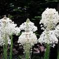Xerophyllum tenax,  Paige Woodward