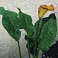 Zantedeschia 'Blaze', Mary Sue Ittner