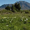 Zantedeschia aethiopica, Tulbagh, Bob Rutemoeller
