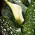 Zantedeschia albomaculata, Cameron McMaster