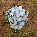Zephyra elegans flowers, Eugene Zielinski