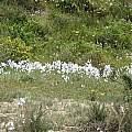 Group of white Zephyra elegans, Eugene Zielinski