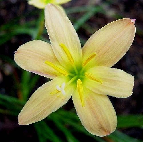 Fiori Giallo Verdognoli.Zephyranthes Bulbi Forniti In Primavera Per La Coltivazione In