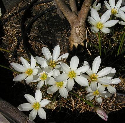 Zephyranthes_candida2.jpg