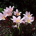 Group of blooming Zephyranthes 'Grandjax', Jay Yourch