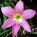 Zephyranthes 'Joann Trial' closeup, Jay Yourch