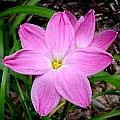 Zephyranthes 'Pink Panther', Jay Yourch