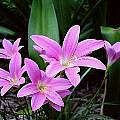 Group of blooming Zephyranthes 'Ruth Page', Jay Yourch