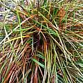 Zephyranthes with major infection, Susan Schufeldt