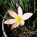 Zephyranthes 'Sunset Strain', Lee Poulsen