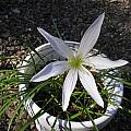 Zephyranthes atamasco, Bob Rutemoeller