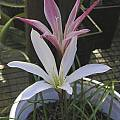 Zephyranthes atamasco, red markings on aged flower, Bob Rutemoeller