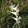 Zephyranthes atamasco, blooming on April 23, 2005 in northern North Carolina, Jim McKenney