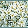 Zephyranthes candida blooming in mass in France, Lauw de Jager