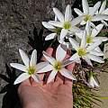 Zephyranthes candida, Argentinian form, UC Botanical Garden, Nhu Nguyen