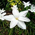 Zephyranthes drummondii, Jay Yourch