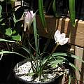 Zephyranthes drummondii, from Telos Rare Bulbs, Nhu Nguyen