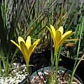 Zephyranthes flavissima, Brazilian form, Nhu Nguyen