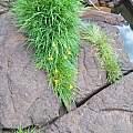 Zephyranthes flavissima, Tarcísio Eduardo Raduenz
