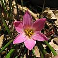 Zephyranthes fosteri, UC Botanical Garden, Nhu Nguyen