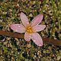 Zephyranthes fosteri, Ina Crossley
