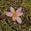 Zephyranthes fosteri, Ina Crossley