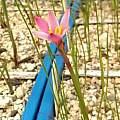 Zephyranthes fosteri rosea, Ina Crossley