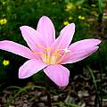 Zephyranthes grandiflora, Jay Yourch