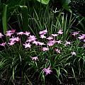 Zephyranthes 'Labuffarosea', Jay Yourch