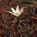 Zephyranthes mesochloa, Germán Roitman