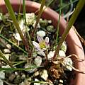 Zephyranthes minima, Alessandro Marinello