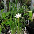 Zephyranthes sp. verecunda, white form, (aka Z. sp. 'datensis'), Nhu Nguyen